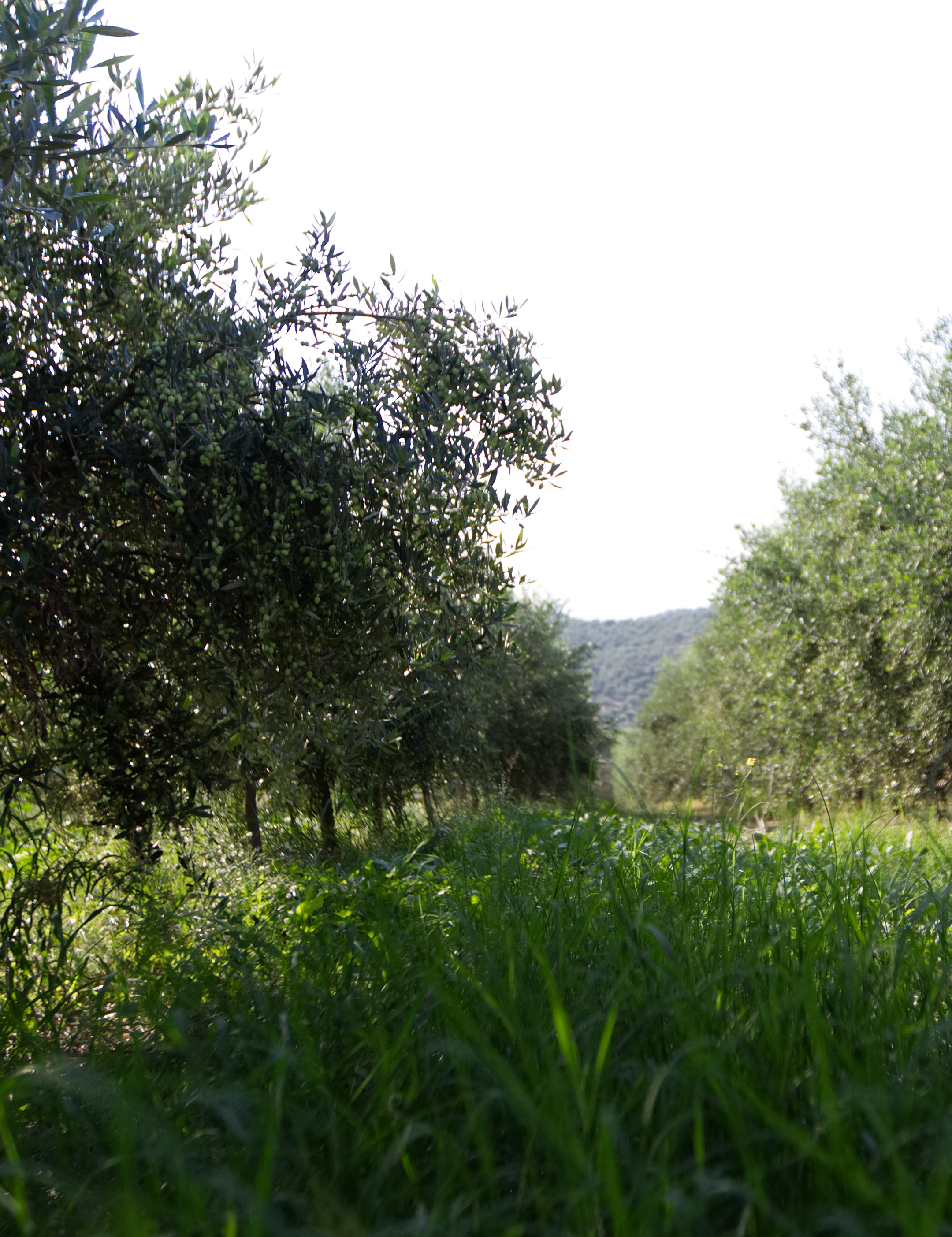 Cooperating olive groves